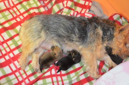 Moxie cradling Leelu under her chin while Willa and Chester are nursing.